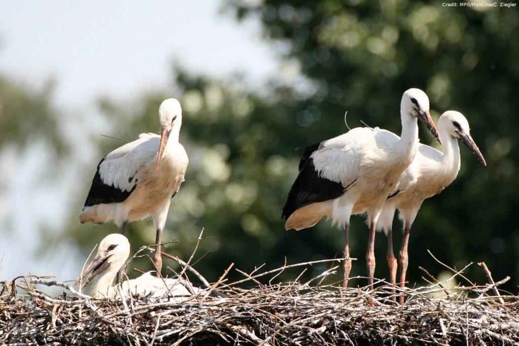 Zugvögel Störche
