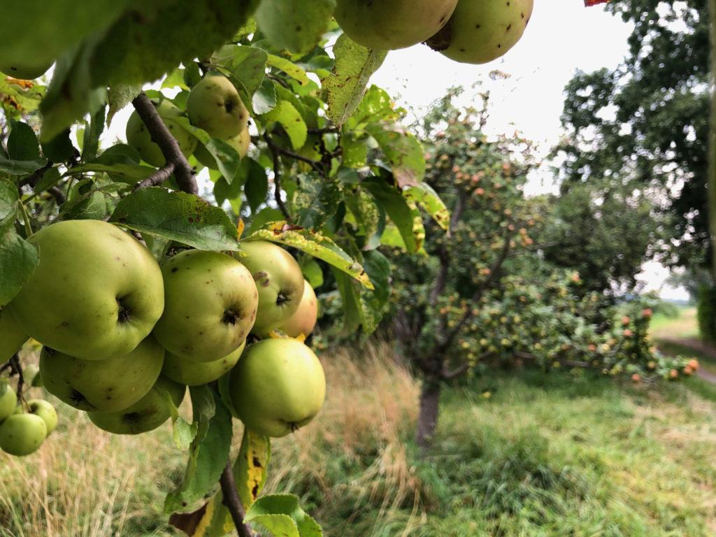 Streuobstwiese: Apfelbaum auf Streuobstwiese